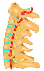 Halswirbelsäule - Anatomie