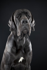 German dog on black background