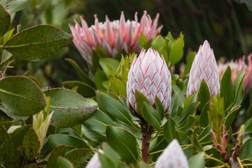 king protea flower heads