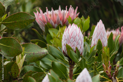 Foto op Canvas Lilac king protea flower heads