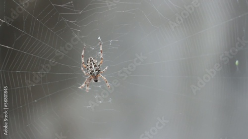 dorsal view of a female Araneus diadematus in web