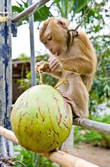 monkeys pick coconuts