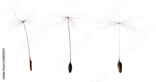 Poster Paardebloem three dandelion seeds isolated on white