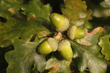 Oak tree, Quercus rober