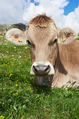 Brown cow on green grass pasture