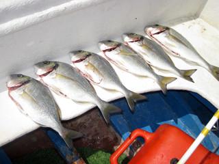 Doradas recien pescadas