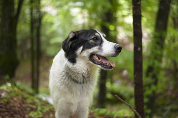 Portrait of a black and white dog in the forest.
