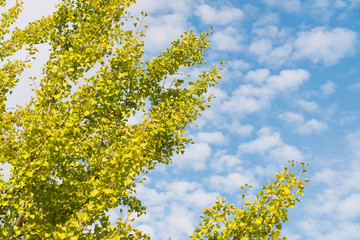 autumn sky and ginkgo tree