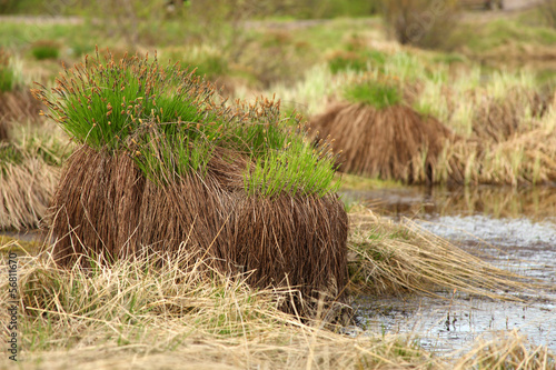 Sedge on swamp, Sakha Yakutia