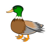 A duck on a white background