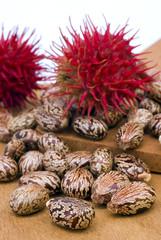 Semi e frutto di ricino (Ricinus communis)