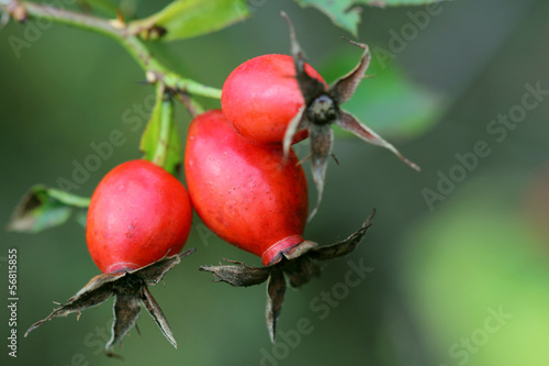 Berries of dog rose. Close up