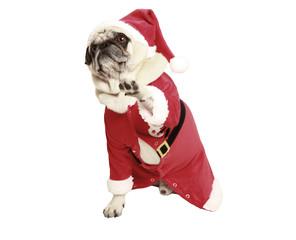 pug in santa coat raises his paw