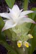 Fiore di Curcuma longa