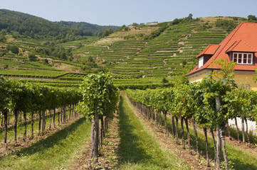 Vineyards of Wachau area, Austria