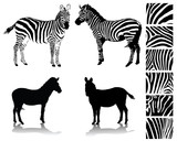 Zebra, silhouette, shadow and texture-vector illustration