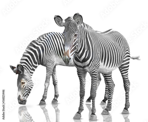 Foto op Canvas Zebra two zebras