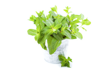 Fresh mint in a bucket on white background