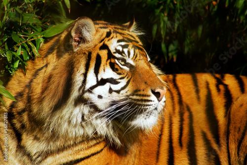 Fototapeten,tiger,tigerbad,agression,angriffslustig