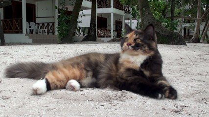 Big spotted pet cat at the Maldives