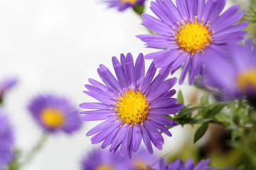 aster with white copy space