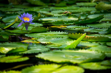 Violet waterlilly in the pond full of its leaves