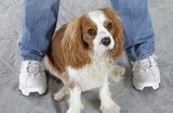 Cavalier King Charles Spaniel. Pet Portrait Photography