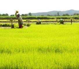 hit rice farmer