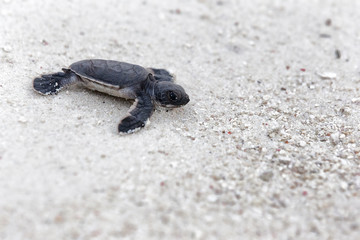 Green Turtle Hatchlings