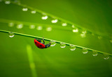 Ladybug and waterdrops