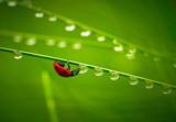 Ladybug and waterdrops