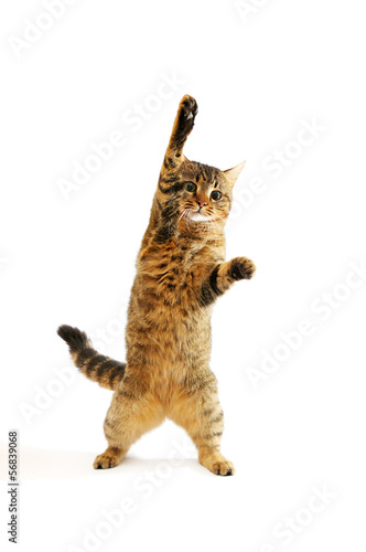 domestic cat isolated on white background