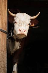 La mucca curiosa