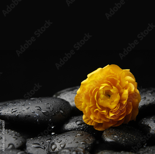 Single orange ranunculus on zen stones