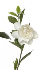 Gardenia flower with leaf