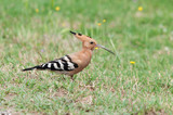 Hoopoe bird (Upupa epops) walking on the ground