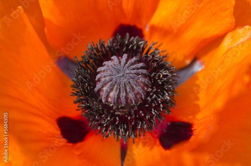 Poppy blossom detail