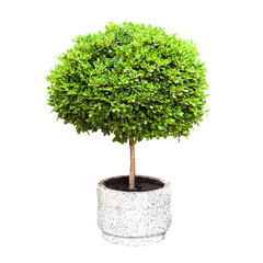Small green decorative tree growing in a pod isolated