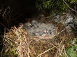 Grey wagtail babies in the nest (Motacilla cinerea)