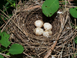 Lesser Whitethroat nest with four eggs (Sylvia curruca)