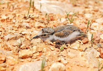 Little Ringed Plover baby camouflaged