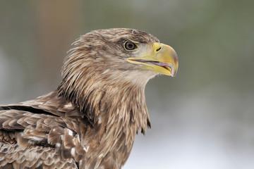 White-tailed eagle portrait