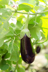 Eggplant in the Kitchen Garden