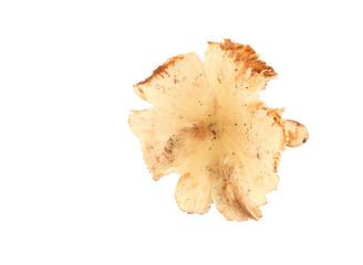 termite mushroom on white background