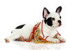 french bulldog with beads isolated on white background
