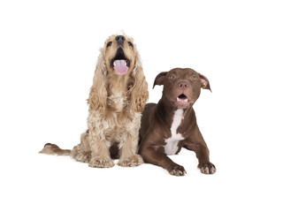 cocker spaniel and a pit bull
