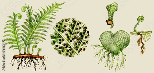 Fern biological cycle illustration