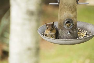Chipmunk on feeder