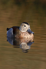 Ringed or ring necked teal, Callonetta leucophrys