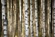 Leinwandbild Motiv trunks of birch trees